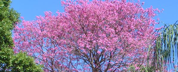 Lapacho Baum in voller Blüte